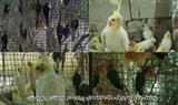 کشف محموله بزرگ غیرمجاز پرندگان در سیستان و بلوچستان