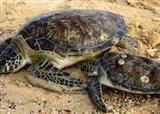آمدن لاکپشتهای دریایی برای تخم ریزی به سواحل چابهار