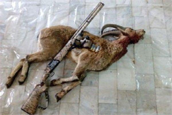دستگیری شکارچی متخلف در دامغان و کشف ۴ لاشه قوچ و کل وحشی در منزل وی