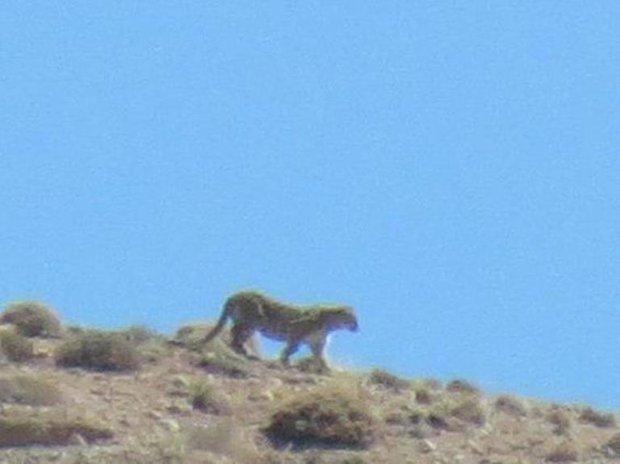 مشاهده یک پلنگ در محیط زیست استان تهران