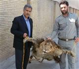 کشف و ضبط پوست سلاخی شده یک قلاده شیر نر در مشهد