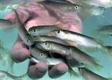 رها سازی بیش از ۹ میلیون بچه ماهی در تالاب بین اللملی شادگان